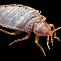 bedbug on black background
