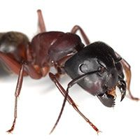 carpenter ant head close up