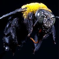 carpenter bee closeup on black background