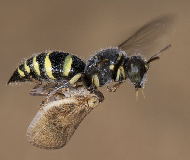 Is your Pest a Yellow Jacket or Baldface Hornet?