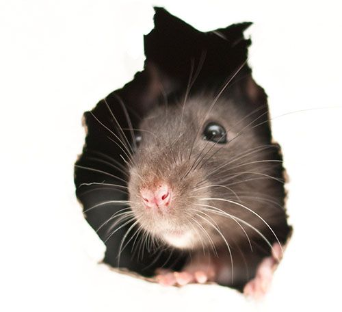 Why Mice are such Horrible Pests