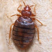adult bedbug close up picture