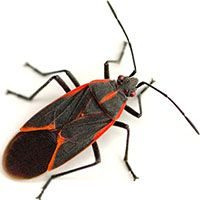 box elder bug pest control
