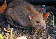 rodent  brown rat outside
