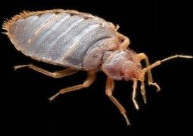close up of real bed bug on black background
