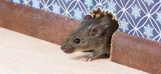 pest mouse looks out from a hole in the wall