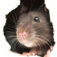 mouse looking out of gnawed hole