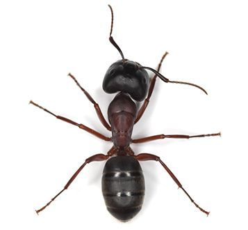 carpenter ant from the top