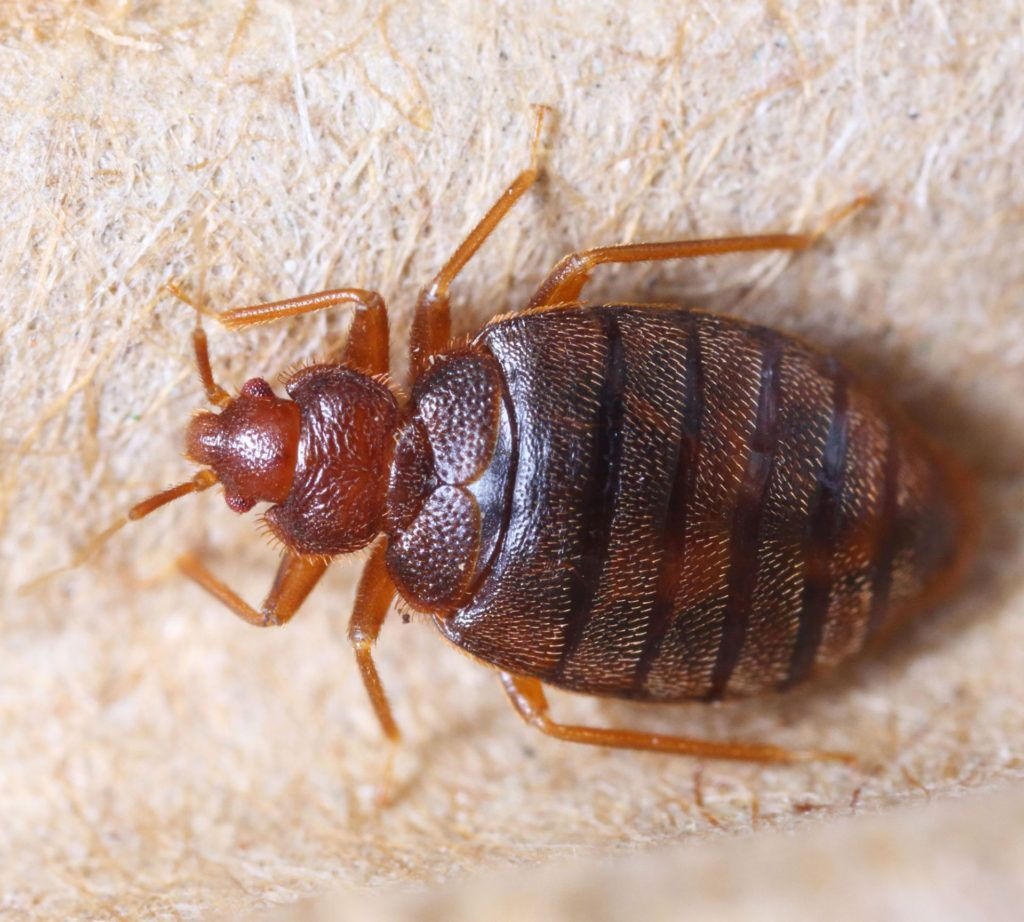 Schaumburg IL Bed Bug upclose